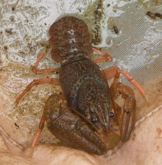 crayfishpic2